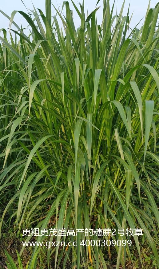 糖蔗2号牧草,2017年更高产、综合应用等更好的牧草新品种,高度最高超过6米,可谓是牧草中的战斗机