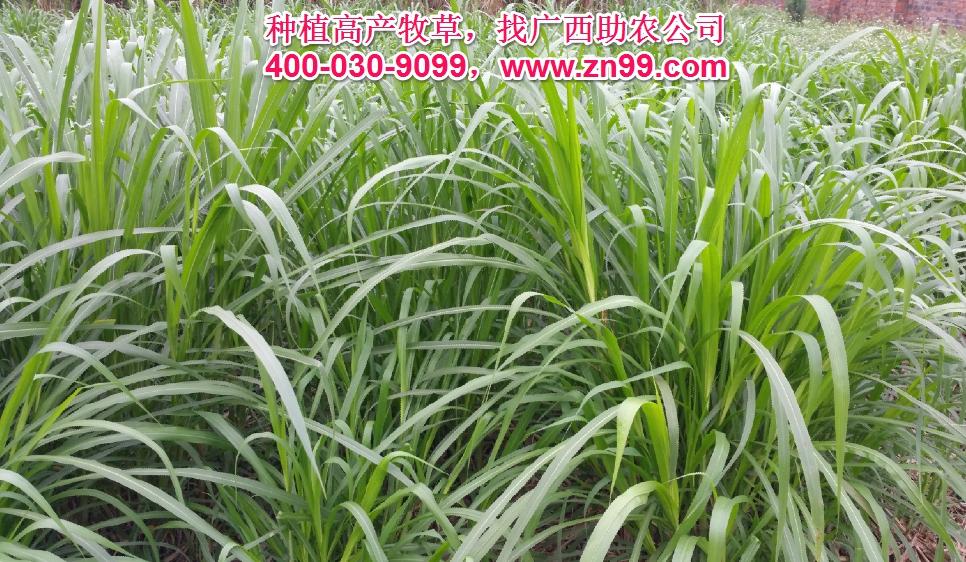 广西助农优质高产牧草品种报价一览表,种植高产牧草,有效降低养殖成本,提高肉质提高效益!