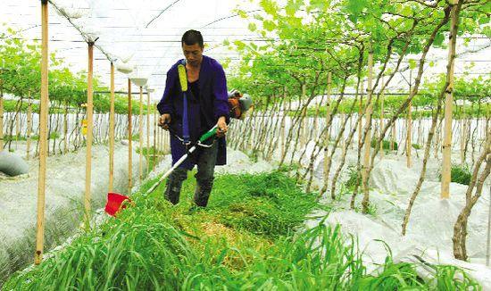 昨天,在新河镇蔡洋村杨杨家庭农场里,果农正在收割葡萄园里的牧草。当别的果农都在清除杂草时,该农场却在60亩葡萄园里种植了牧草。这些牧草收割后,可作为有机肥料铺在葡萄树根部,用以提升葡萄的品质,使得亩均效益增加10%以上。