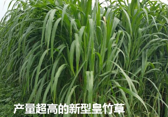 新型皇竹草4.png