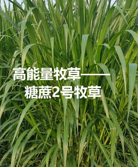 糖蔗2号牧草.png
