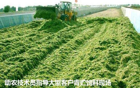 青贮皇竹草2.png