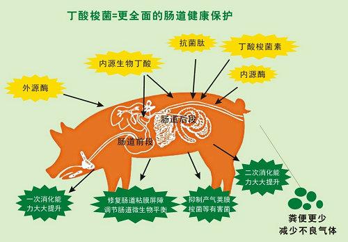 丁酸梭菌更全面地保护猪的健康.jpg